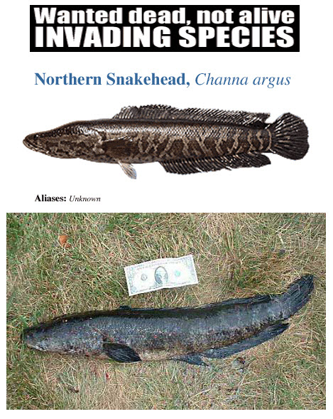 Snakehead fish for Millwood lake fishing report